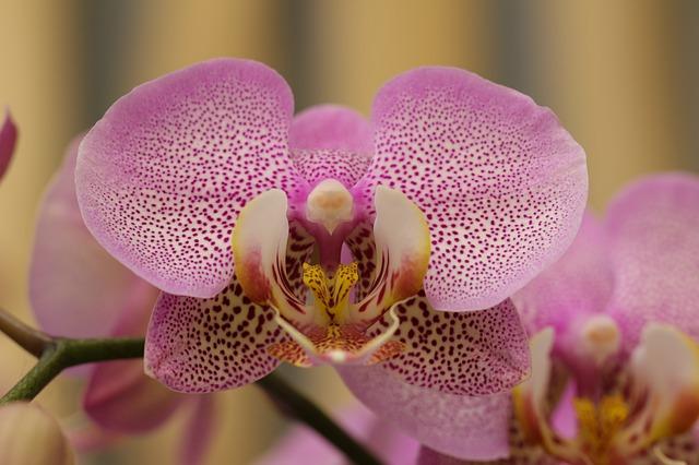 Nepřibarvená orchidej