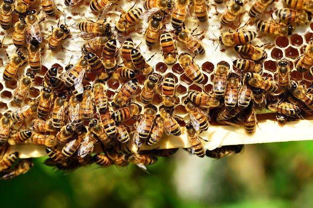 Včelstvo na plástvi